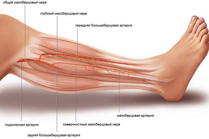 Артерии голени