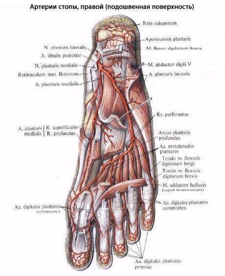 Строение артерий голени