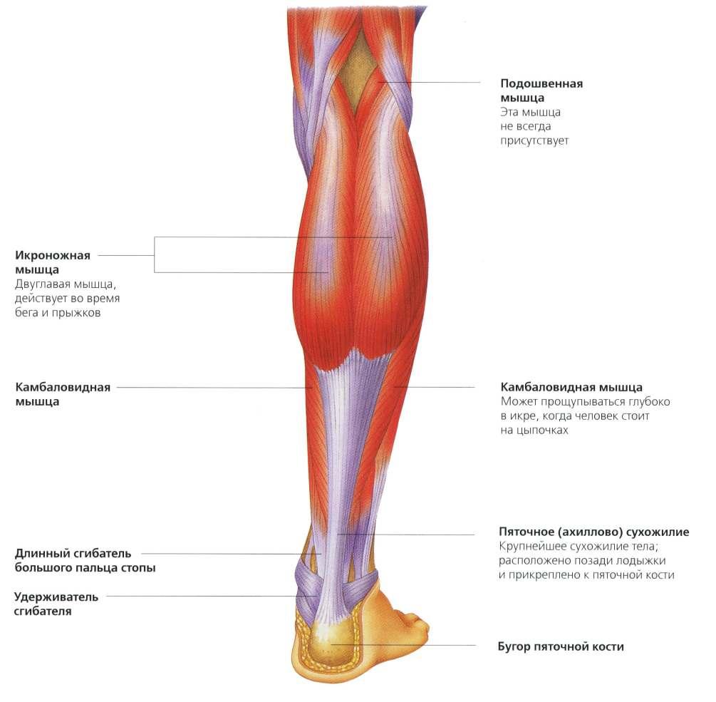 имеет максимально анатомия ноги человека мышцы и связки фото недостатки