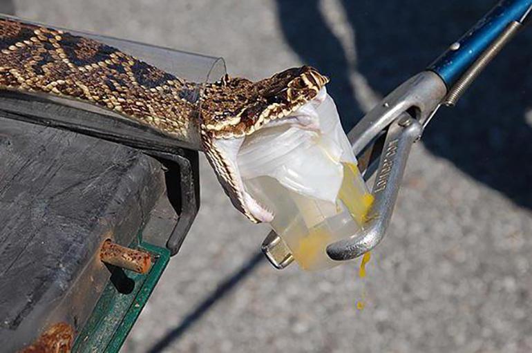 Змея выделяет яд