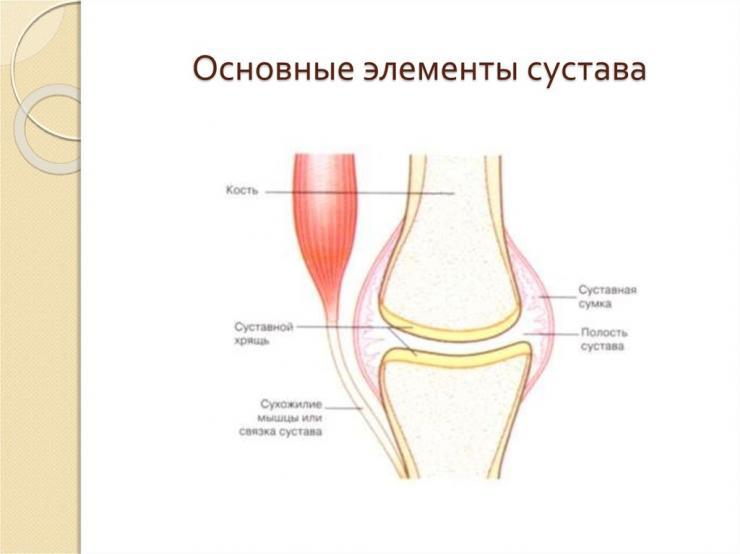 Особенности строения суставов ног
