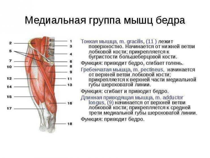 Характеристика мышц, обеспечивающих сгибание бедра