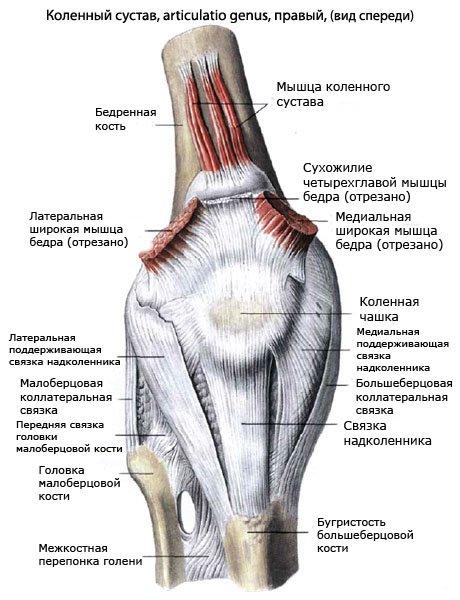 Мышцы, приводящие в движение коленный сустав