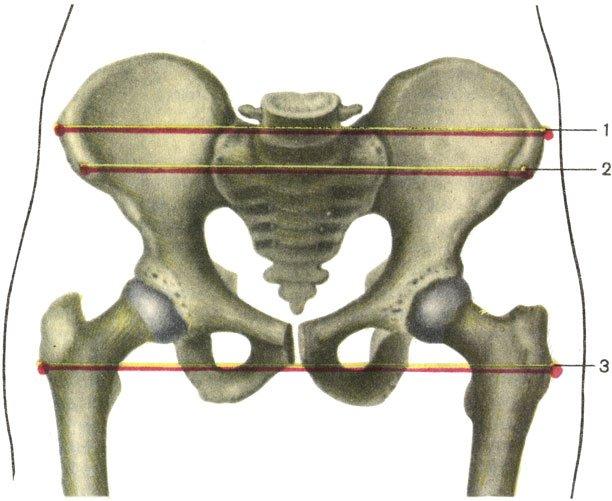 Анатомия и функции широкого чашевидного пояса ног