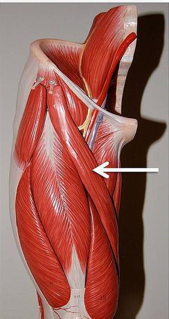 Строение, функции и патологии портняжной мышцы
