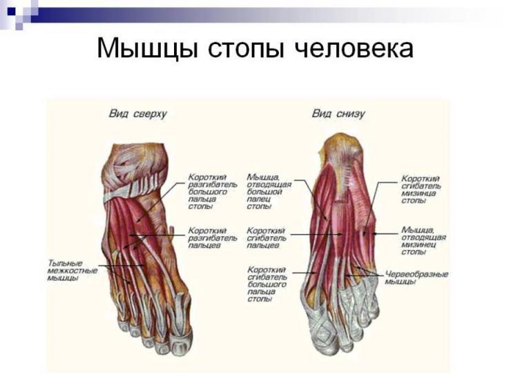 Строение и функции мышц ног