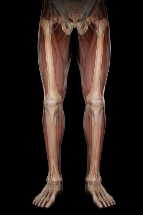Топографическая анатомия ног