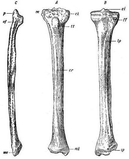 Анатомия и возможные повреждения большеберцовой и малоберцовой костей