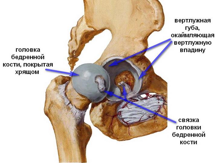 Вертлужная впадина: анатомические особенности тазобедренного сустава
